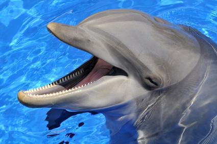 Tête d'un grand dauphin la bouche ouverte
